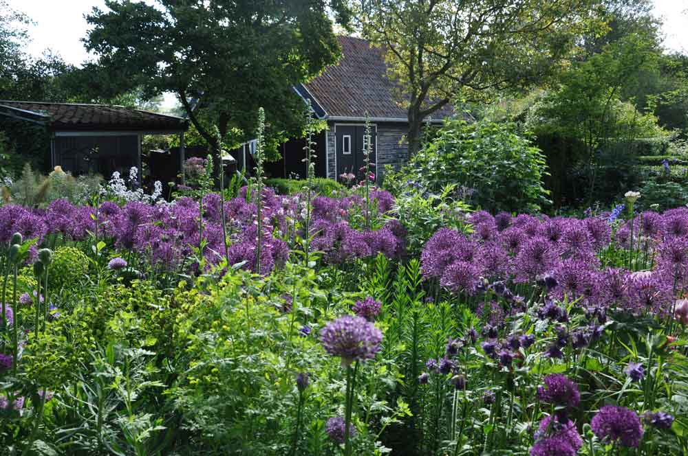 allium purple rain allium purple rain u2013 Garden Guesthouse
