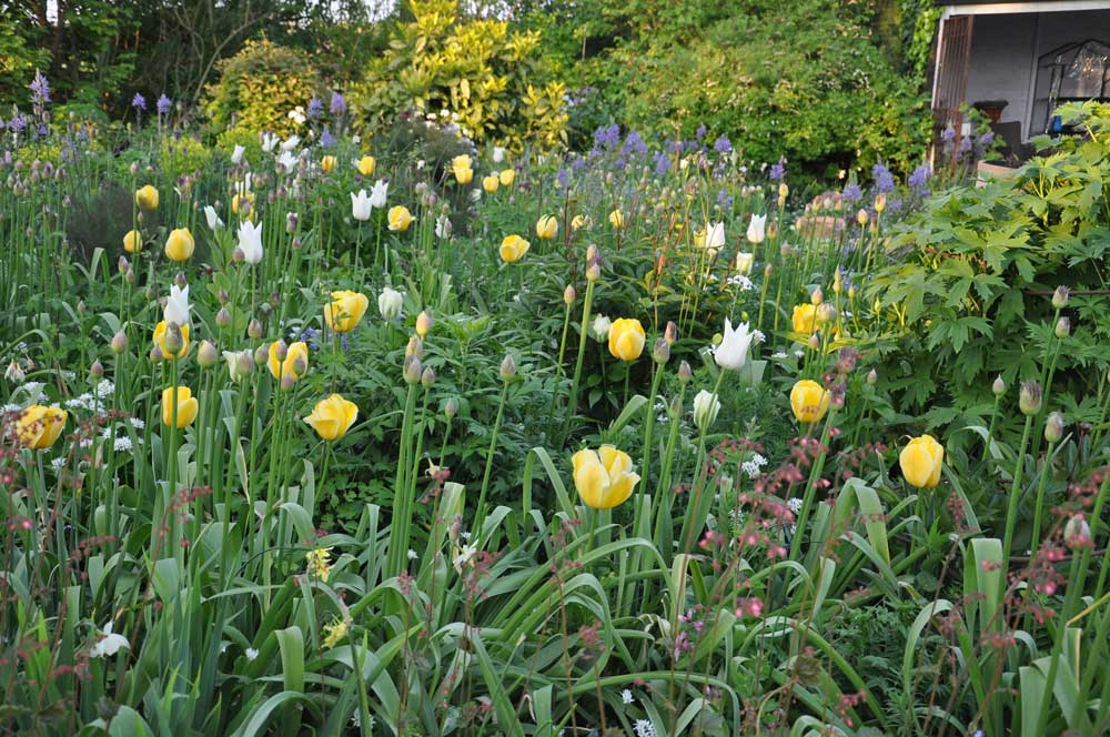 tulpen,-camassia-en-allium